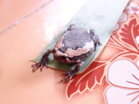 タイのカエル