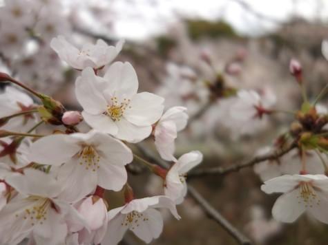 7分咲きの桜
