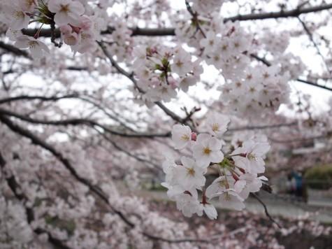 七分咲きの桜