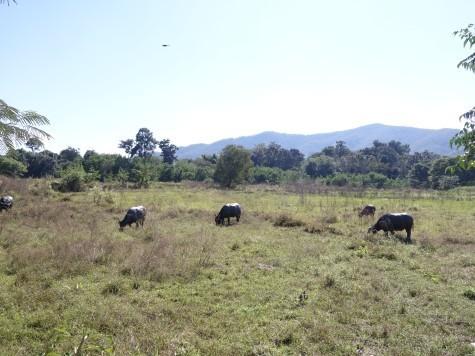 田園と水牛