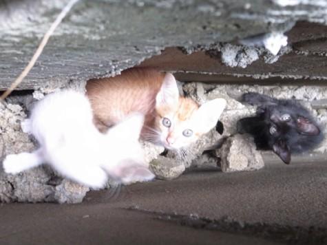 タイの仔猫たち