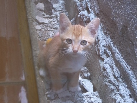 タイの仔猫(茶トラ)