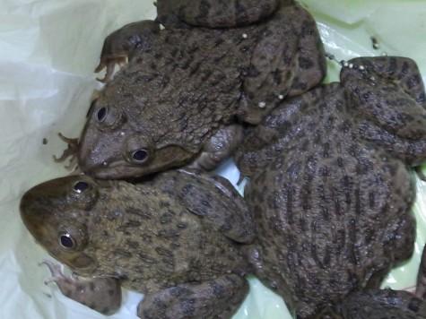 タイの食用蛙