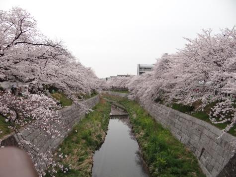日本の桜並木