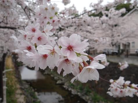 日本の桜(ソメイヨシノ)