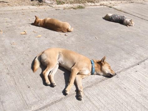 チェンマイの犬